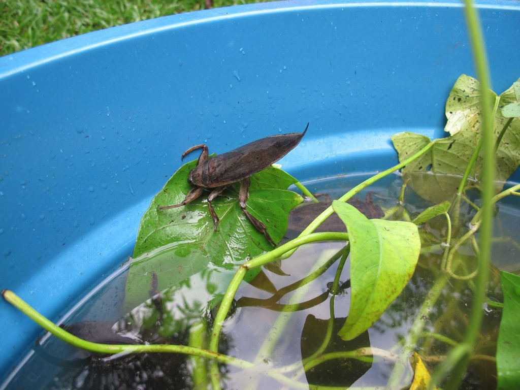 Setting up Rearing Techniques for Water Bugs