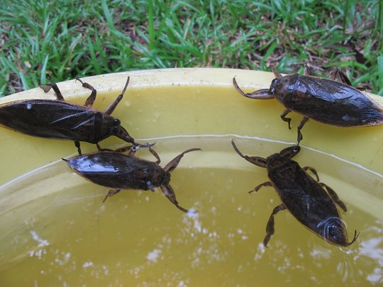 Adult Giant Water Bugs