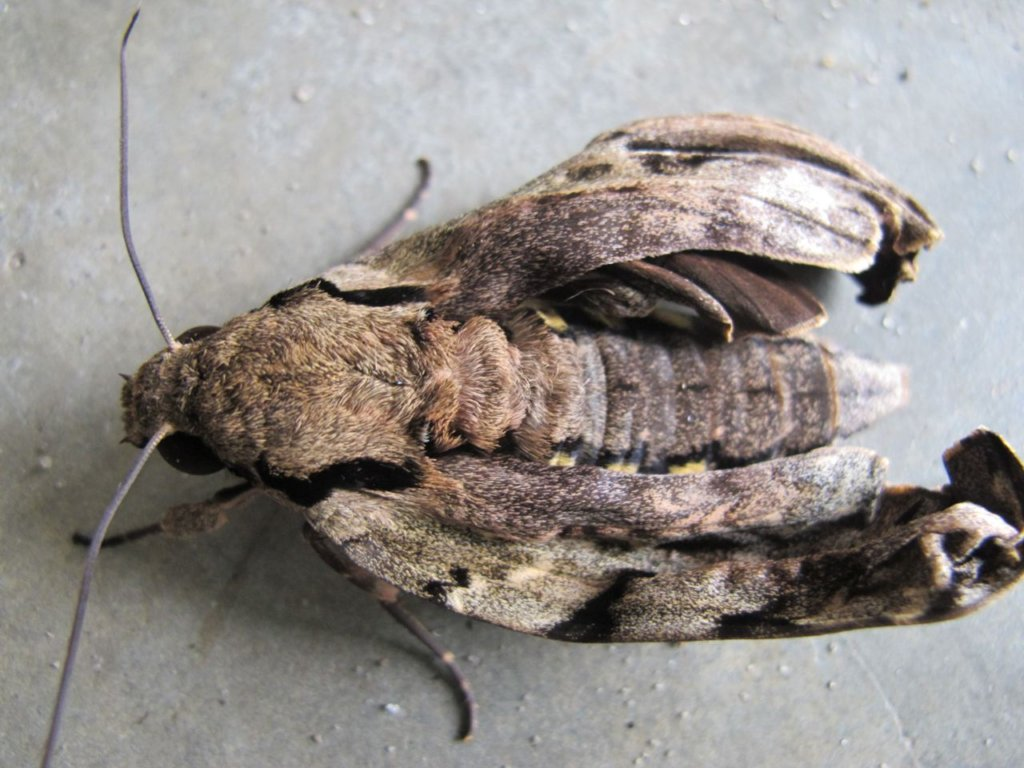 Hawk Moth Newly Emerged