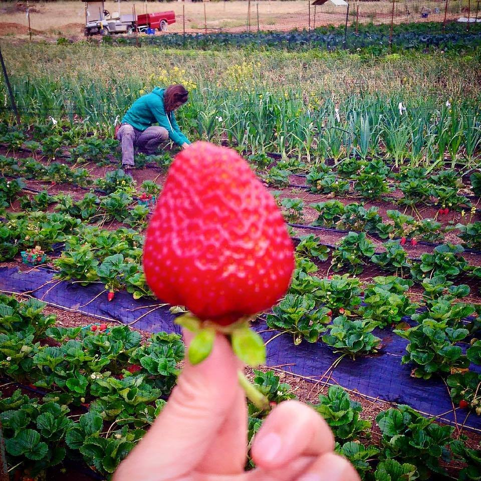 Jen shows off a Strawberry, while Ali harvests!