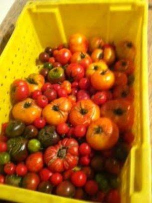 9 Varities of Heritage Tomatoes!